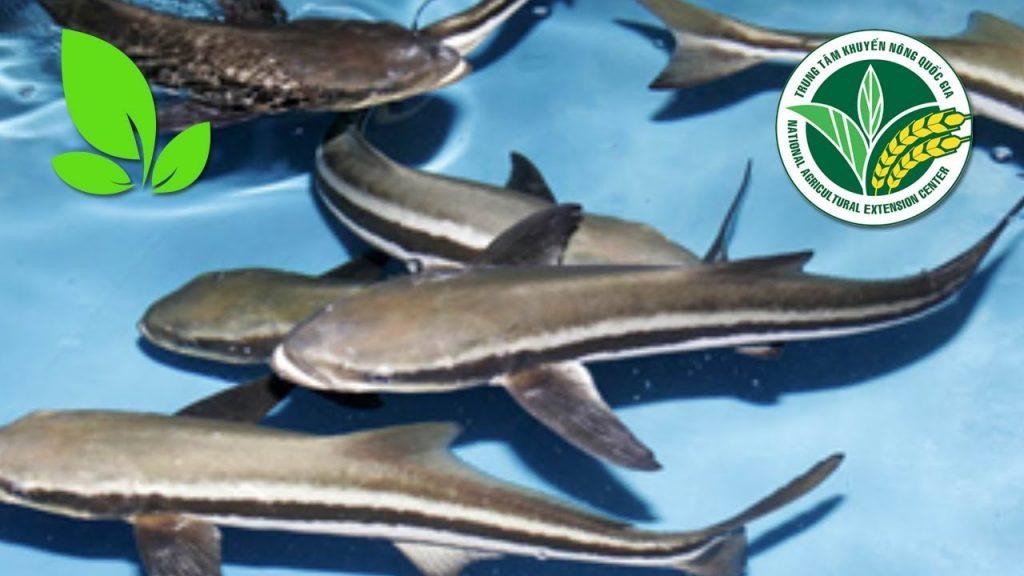 Cá giò -đặc sản Cửa Lò